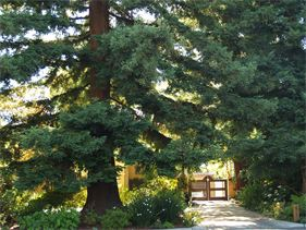 Spencer's Tree Service tree care for Redwood Trees, expert climbers, professional pruning, lighten limbs, weight reduction of tree limbs